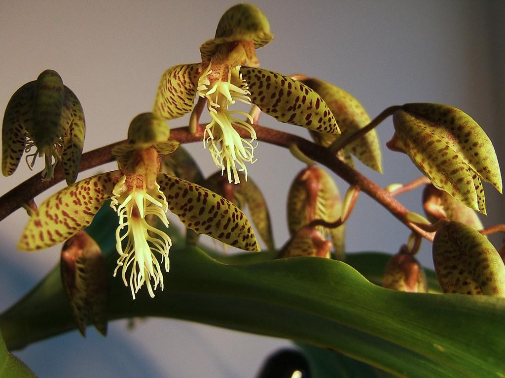 Resultado de imagem para Catasetum lanciferum