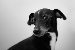 dog breed, animal, hound, puppy, dog, whippet, pet, italian greyhound, monochrome photography, greyhound, close-up, monochrome, carnivoran, black-and-white, black,