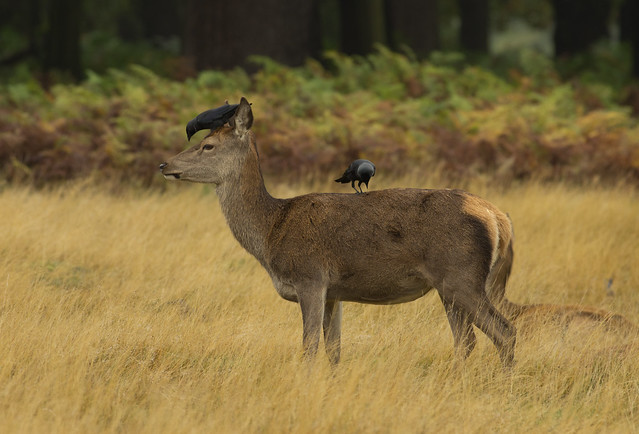 red deer with jackdaw on back 2