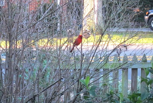 Cardinal eating the birdseed ornaments