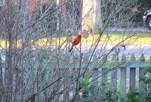 Cardinal eating the birdseed ornaments