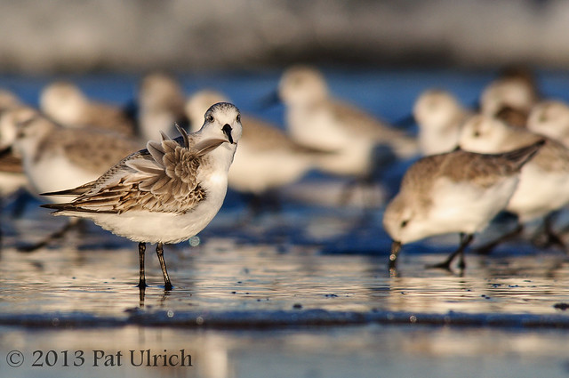 Sanderling preening, Parker River National Wildlife Refuge