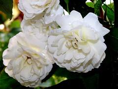 blossom(0.0), floribunda(0.0), peony(0.0), shrub(1.0), garden roses(1.0), rosa 㗠centifolia(1.0), flower(1.0), plant(1.0), flora(1.0), gardenia(1.0), petal(1.0),