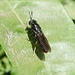 Hermetia illucens. Black Soldier Fly.