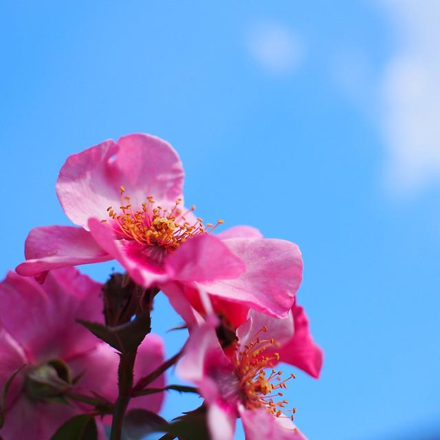 Photo:Rose, Eyes on Me, バラ, アイズ オン ミー, By T.Kiya