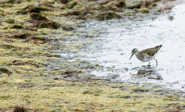 Juvenile Wood Sandpiper,Kilnsea Wetlands,East Yorkshire-16