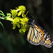 Monarch in wingstem - yesterday by Vicki's Nature
