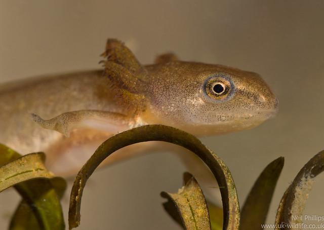 smooth newt tadpole 2
