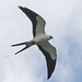 Small photo of American Swallow-tailed Kite