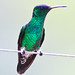 Small photo of Indigo-capped Hummingbird (Amazilia cyanifrons)