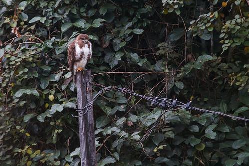 Madagascar Buzzard ? (Buteo brachypterus)