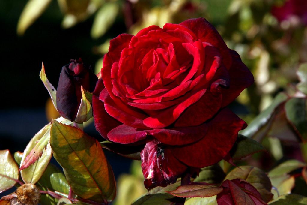 rosa de octubre