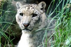 """SCHNEELEOPARDEN """"Panthera uncia"""""""