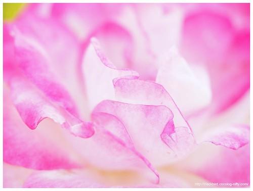 Autumn rose #03