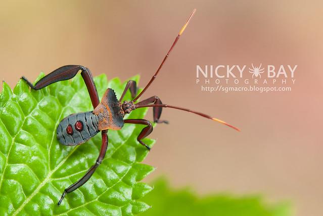 Squash Bug? (Coreidae?) - DSC_2512