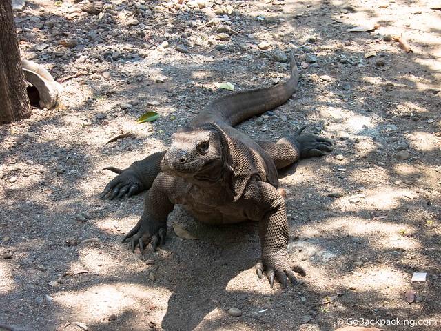 Up close with a wild Komodo dragon