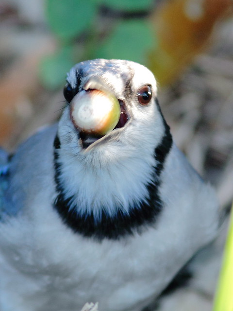 Blue Jay with acorn 20121021