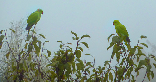 Green parrots in fog - from my window width=
