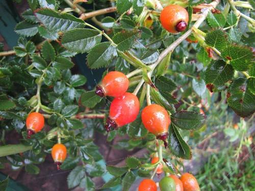 06-Rosa mandonii-29.09.12