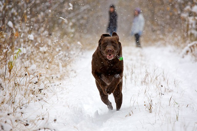 Snow Day – Chocolate Lab