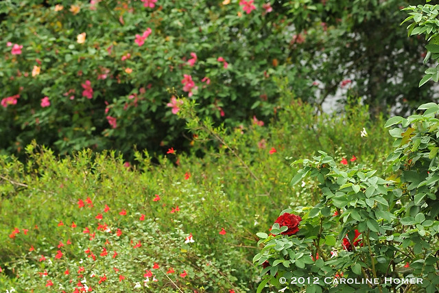 Roses and salvia in bloom