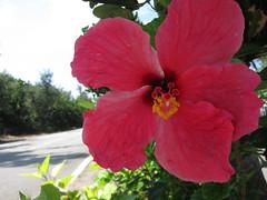 rosa chinensis(0.0), annual plant(1.0), shrub(1.0), flower(1.0), plant(1.0), malvales(1.0), flora(1.0), chinese hibiscus(1.0), petal(1.0),