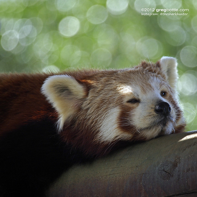 Red Panda, Colchester Zoo