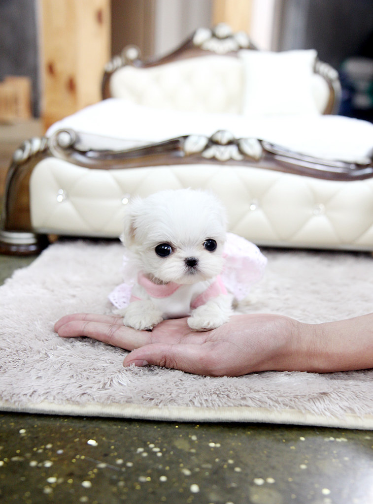 Teeny tiny teacup maltese puppy | The cutest,the tinnest ...