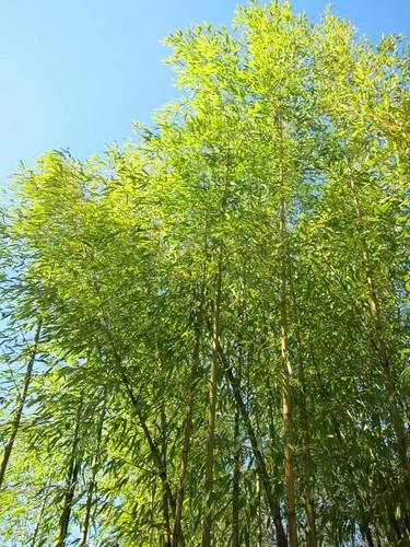 Hakone Japanese Gardens, Saratoga, CA, bamboo IMG_2331