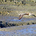 Small photo of American widgeon in flight
