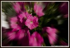 Flower Pink Focus Zoom