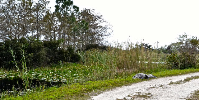 8372724782 297d2c8d96 z Floridas Everglades   The Loxahatchee National Wildlife Refuge