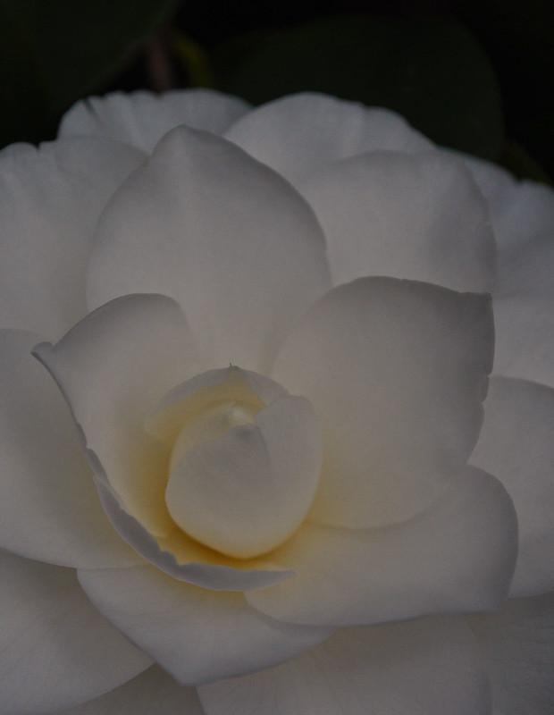 Camellia japonica 'Nuccio's Gem' (3)