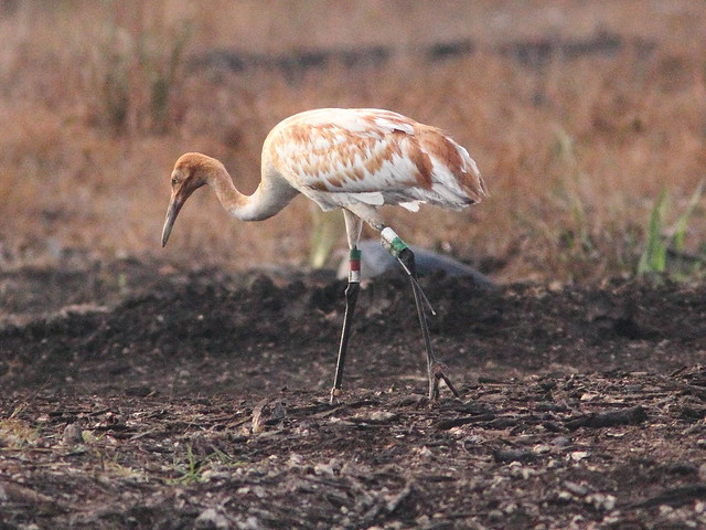 Whooping Crane 15-12 Cypress 20130106