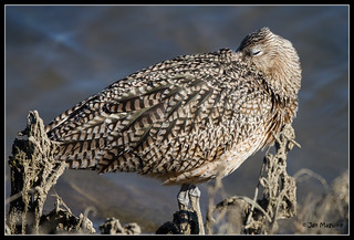 Long-billed Curlew 6183