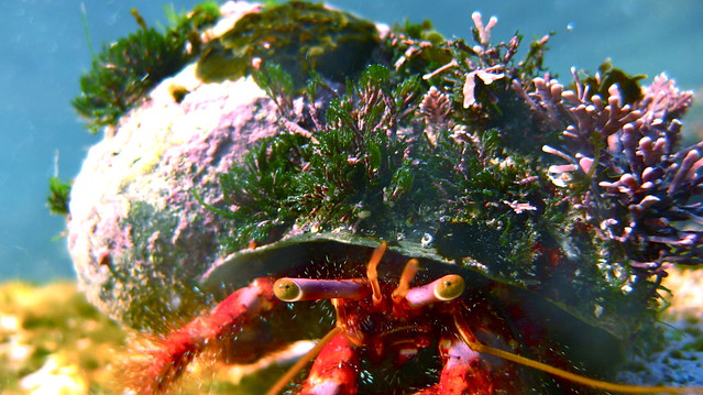 Hairy Red Hermit Crab-Dardanus lagopodes