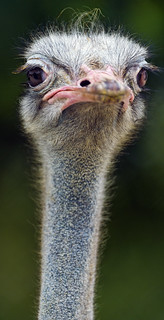 Long neck ostrich | by Tambako the Jaguar