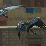 Demoiselle Cranes landing in Rajasthan, India