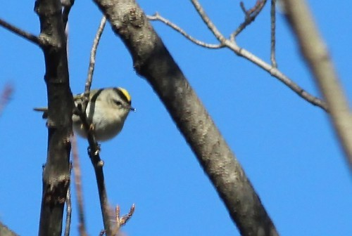 Golden-crowned Kinglet by Karen Bonsell