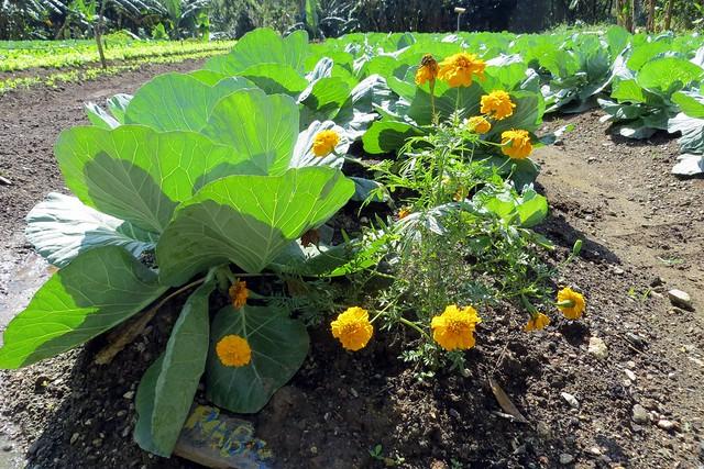 Organic lettuce, Las Terrazas