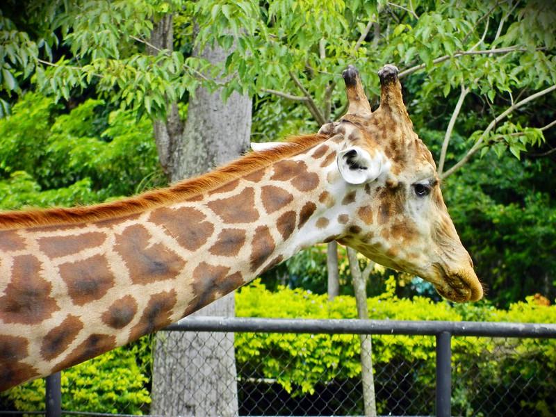 juliana leite zoologico zoo fotos por lucas lopes blog animais selvagens papagaio jacaré macaco amamentando arara girafa 6