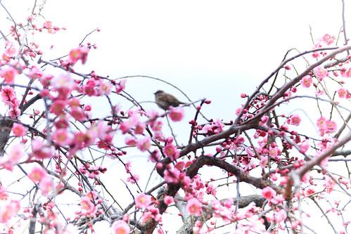 Sparrow & Plums