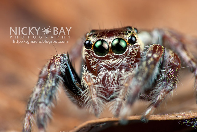 Jumping Spider (Salticidae) - DSC_8665