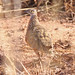 Small photo of Burchell's Sandgrouse