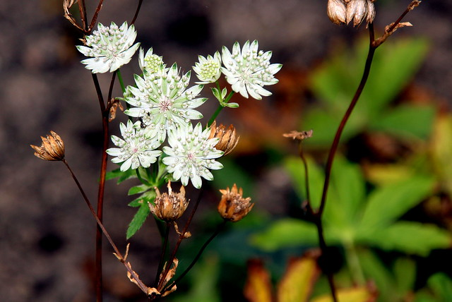 Image of Astrantia major in Broward County