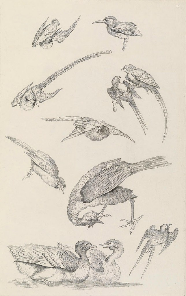 bird drawings - copperplate engraving