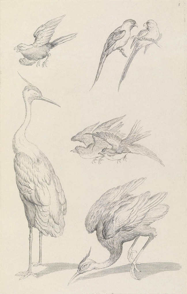 ornithological drawing of birds of China