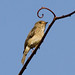 Small photo of African Dusky Flycatcher (Muscicapa adusta)