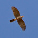 Small photo of Ovambo Sparrowhawk (Accipiter ovampensis)