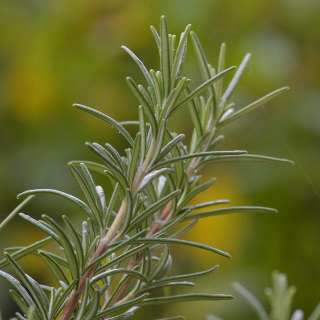 Rosmarino (Rosmarinus officinalis) by Irene Grassi, on Flickr